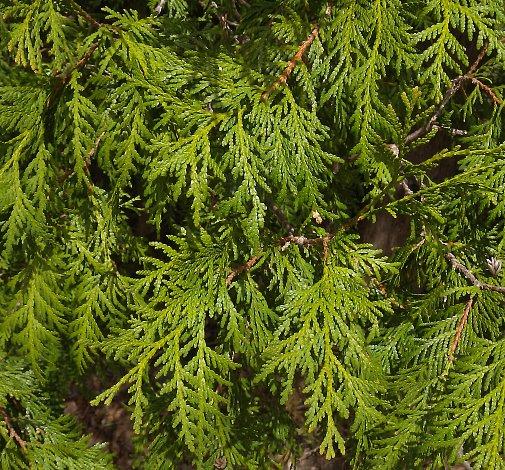 Northern White Cedar ~ Northern white cedar thuja occidentalis