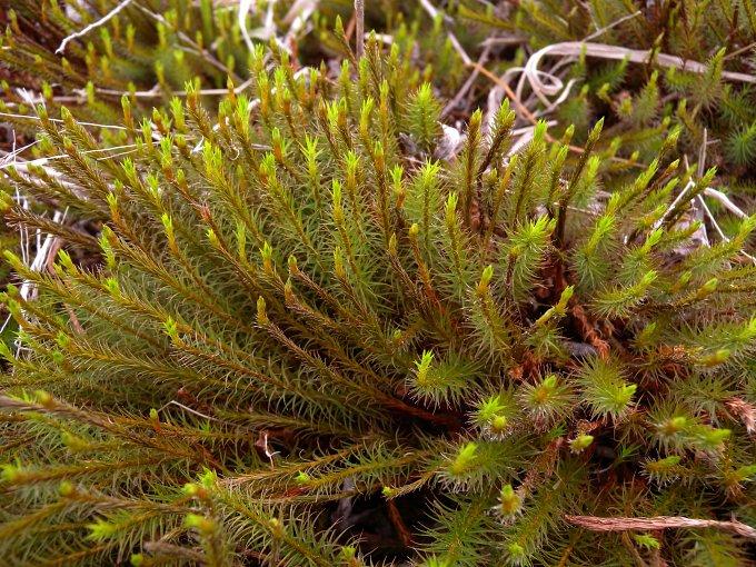 Common Haircap Moss  Polytrichum Commune